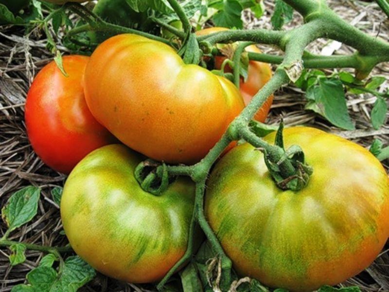 томат Толстый Джек1